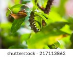 Small photo of adventuress snail on a green leaf