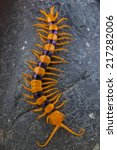 Small photo of Giant centipede / Scolopendra hardwickei