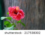 The Hibiscus Flower   Red...