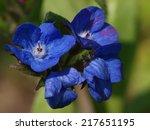 Anchusa Azurea Loddon Royalist