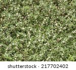 natural turf grass is a plant... | Shutterstock . vector #217702402