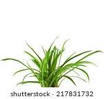 Green Plant Chlorophytum...