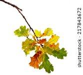 Autumn Oak Branch Isolated On...