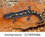 Small photo of Spotted Salamander, Ambystoma maculatum