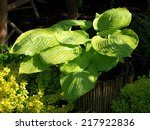 Small photo of Hosta Sum and Substance