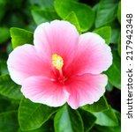 pink hibiscus flower tropical...   Shutterstock . vector #217942348