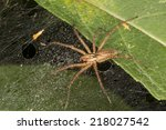 Small photo of Grass Spider, Agelenopsis sp.