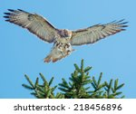 Red Tailed Hawk Landing In A...