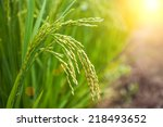 rice paddy | Shutterstock . vector #218493652