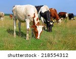 cows on a summer pasture | Shutterstock . vector #218554312