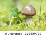 Closeup of small mushroom  with brown cap in natural environment  - stock photo