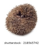 Hedgehog Balled Up Isolated On...