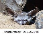 the bat eared fox  otocyon... | Shutterstock . vector #218657848