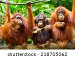 Close Up Of Orangutans ...