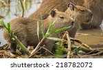 side view of baby capybara and... | Shutterstock . vector #218782072