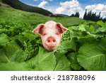 Cute Pig Grazing At Summer...