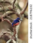 Small photo of Azure Kingfisher (Alcedo azurea)