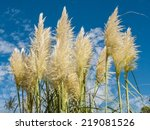 Group Of Pampas Grass ...
