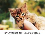 Kitten In Human Hands With A...