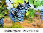 bunches of ripe grapes on the... | Shutterstock . vector #219243442