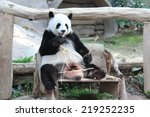 Giant Panda  Named Lin Hui  Is...
