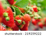 Fresh Strawberries From...