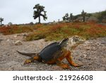 Land Iguana From The Galapagos...