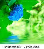 Many Blue Hydrangea Flowers...