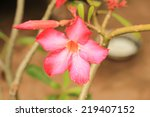 Small photo of close up Adenium multiflorum is the best known of the South African adeniums.