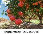 Red Pomegranate Fruit On The...