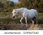 Beautiful White Horse Standing...