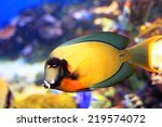 Small photo of Mimic Lemon Peel Tang (Acanthurus pyroferus) in Japan