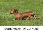 Small photo of somewhat truculent smooth haired Dachshund striding purposefully