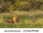a lion and lioness resting in... | Shutterstock . vector #219659908