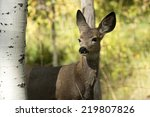 A Young Mule Deer Fawn ...