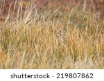 Small photo of An American Pipit (Anthus rubescens) hides in the dry grass at Panguitch Lake, Utah.