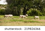 Scimitar Horned Oryx Antelopes...