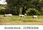 Scimitar Horned Oryx Antelopes...