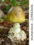 Small photo of Young sample of Amanita Phalloides or Death cap mushroom, one of the most dangerous poisonous mushrooms in Europe