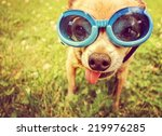 Stock photo a cute chihuahua wearing goggles in the grass with his tongue out toned with a retro vintage 219976285