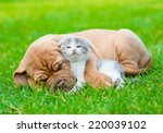 Stock photo sleeping bordeaux puppy dog hugs newborn kitten on green grass 220039102
