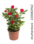 Stock photo roses in a flower pot isolated on a white background 220082962