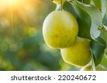 pear fruit on the tree | Shutterstock . vector #220240672