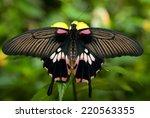 Female Great Mormon Butterfly ...