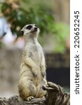 meerkat family are sunbathing. | Shutterstock . vector #220652245