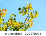Autumn leaves of aspen against the blue sky  - stock photo