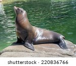 Sea Lion Female On The Stone