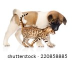 Stock photo japanese akita inu puppy dog kisses small bengal cat isolated on white background 220858885