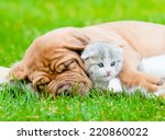 Stock photo sleeping bordeaux puppy dog hugs newborn kitten on green grass 220860022