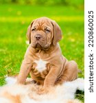 Bordeaux Puppy Dog Sitting On...
